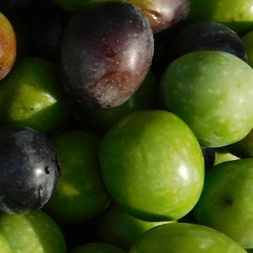 Centro-olive